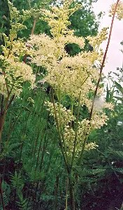 Meadowsweet (Spirea ulmaria) potted plant, organic