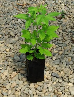 Nirgundi (Vitex negundo) potted tree, organic
