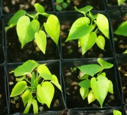 Ololiuqui (Rivea corymbosa) plant, organic