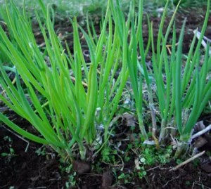 Onion, Welsh* (Allium fistulosum), potted plant, organic