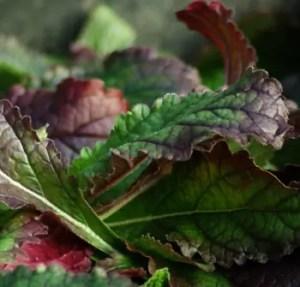 Rehmannia* (Rehmannia glutinosa) potted plant, organic