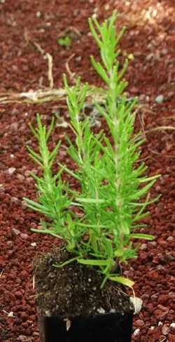 Rosemary, Upright (Rosmarinus officinalis) potted plant, organic