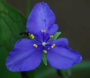 Spiderwort, Western (Tradescantia occidentalis) potted plant, organic