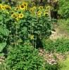 Echinacea purpurea potted plant, organic