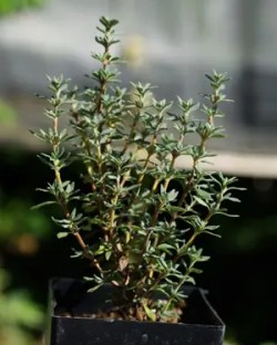 Thyme, Mastic (Thymus mastichina) potted plant, organic