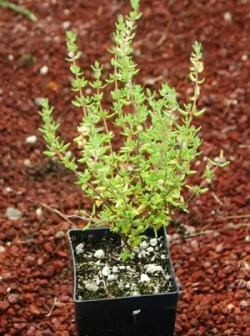 Thyme, English Broadleaf (Thymus vulgaris) potted plant, organic