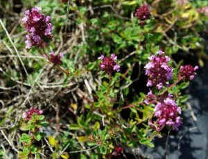 Thyme, Creeping* (Thymus serphyllum) potted plant, organic