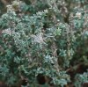 Thyme, German Winter (Thymus vulgaris) potted plant, organic