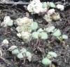 Timo Arbustivo (Thymus capitatus), potted plant, organic