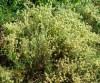 Thyme, Mastic (Thymus mastichina) potted plant, organic