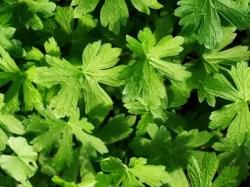 Geranium, Wild (Geranium maculatum) potted plant, organic