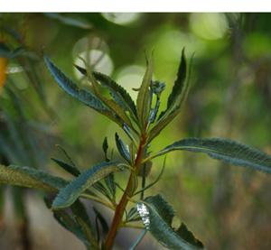 Yerba Santa (Eriodictyon californicum) potted plant, organic