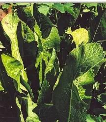 Horseradish (Cochlearia armoracea) potted plant, organic ON SALE!