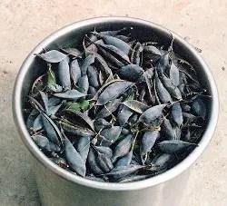 Indigo, Blue* (Baptisia australis) potted plant, organic