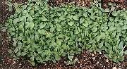 Pennyroyal (Mentha pulegium) potted plant, organic