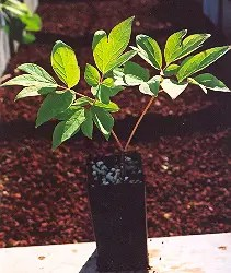 Peony, Tree (Paeonia suffriticosa) potted plant, organic