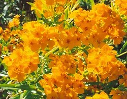 Tarragon, Mexican (Tagetes lucida) potted plant, organic
