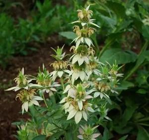 Mint, Yellow Dotted (Monarda punctata) potted plant, organic