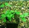 Spilanthes, Kenyan (Acmella calirrhiza), packet of 30 seeds, organic
