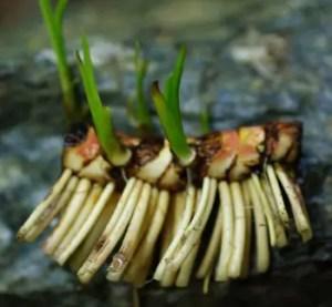 Calamus (Acorus calamus var americanus) Live Root, organic