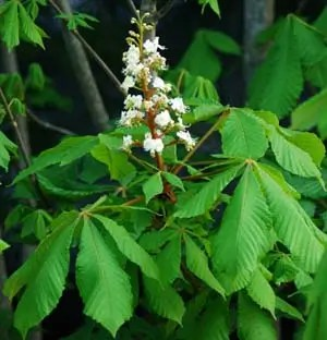Horse Chestnut (Aesculus hippocastanum), potted tree (top size), organic