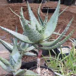 Aloe marlothii (Mountain Aloe), packet of 20 seeds