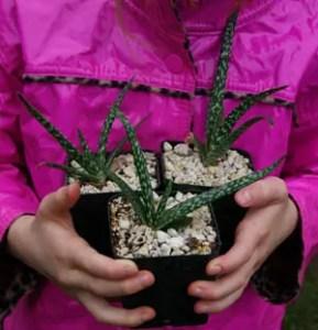 Aloe vera x vera packet of 10 seeds
