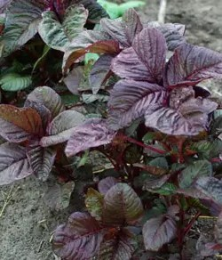 Amaranth, Red Spinach (Amaranthus tricolor), packet of 100 seeds, organic