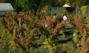 Amaranth, Golden Giant (Amaranthus cruentus), packet of 200 seeds, organic
