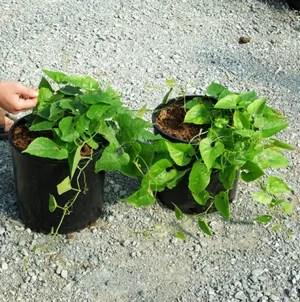 Arhat Fruit (Momordica grosvenori), packet of 7 seeds