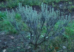 Sagebrush, Common (Artemisia tridentata), packet of 200 seeds