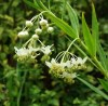 Swan Plant (Asclepias physocarpa), packet of 10 seeds