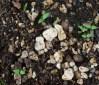 Ashwagandha, African Ecotype (Withania somnifera), packet of 50 seeds, organic