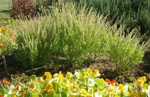 Basil, African (Ocimum canum), packet of 100 seeds, organic