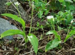 Garlic, Bear's (Allium ursinum), packet of 50 seeds, organic