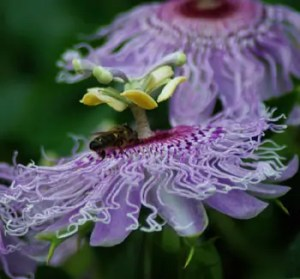 Passionflower, Official (Passiflora incarnata), packet of 20 seeds, organic