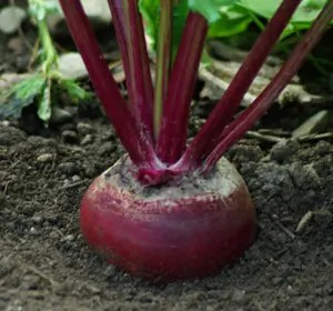 Beet_Detroit_dark_red_plant_300