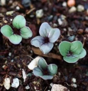 Radish, Round Black Spanish (Raphanus niger), packet of 50 seeds, organic