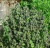 Horehound, Black (Ballota nigra), packet of 20 seeds, organic