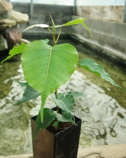 Bodhi Tree (Ficus religiosa), packet of 100 seeds