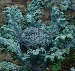 Broccoli, Purple Peacock, packet of 100 seeds, organic