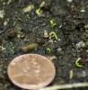 Calamus (Acorus calamus var. americanus), packet of 100 seeds