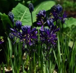 Camas, Blue (Camassia quamash) potted plant, organic