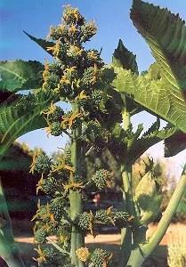 Castor Seed Set (3 seed packets): Zanzibar Red, Unguja Green, New Zealand Purple