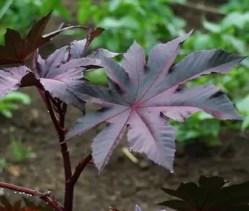 Castor, New Zealand Purple (Ricinus communis) packet of 5 seeds, organic