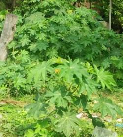 Castor, Unguja Green (Ricinus communis), packet of 5 seeds, organic