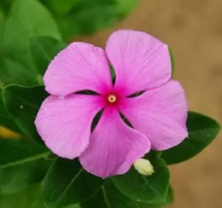 Periwinkle, Madagascar (Catharanthus roseus), packet of 20 seeds, organic