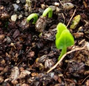 Chacruna, Broadleaf (Psychotria viridis), packet of 10 seeds