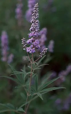 Chaste Tree, Official (Vitex agnus-castus), packet of 50 seeds, organic