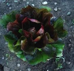 Radicchio, Palla Rossa, packet of 200 seeds, organic
